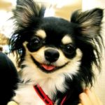 Låmghårig Chihuahua