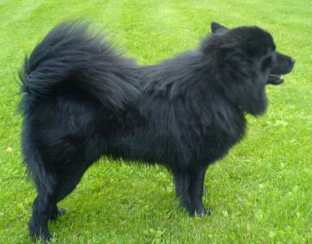En helsvart Svensk Lapphund